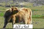 1الحكة و البقر